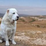 Подробная характеристика породы собак алабай. Почему заводить эту собаку стоит только активным людям?