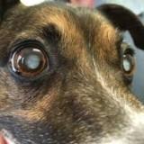 Что такое бельмо на глазу у собаки и насколько опасна эта патология для здоровья питомца?