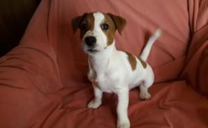 Хотим купить щенка джек-рассел-терьера, ему уже 4 месяца, в таком возрасте стоит брать?