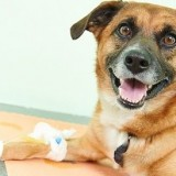 Что такое гипогликемия и насколько эта болезнь опасна для жизни собак?