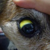 Симптомы лептоспироза у собак, а также методы его лечения