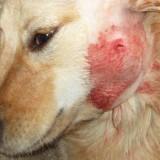 Как правильно лечить абсцесс у собак?
