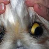 Болеют ли собаки гепатитом и каким путем питомец может заразиться?