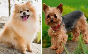 Какая порода лучше подойдет для любителя миниатюрных собак: шпиц или йорк?