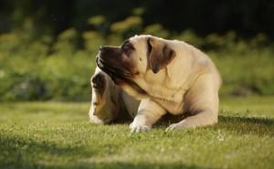 По каким причинам у собаки может быть пиодермия, и как правильно ее лечить?