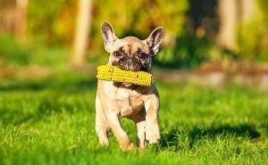 Можно ли кормить свою собаку кукурузой, и в каком виде лучше давать продукт?