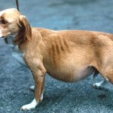 Признаки и симптомы асцита у собак, а также эффективные методы его лечения