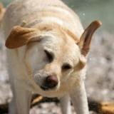 Что делать, если собака постоянно трясет головой и чешет уши?