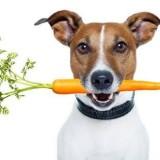 Как правильно выбрать рацион питания для щенка джек-рассел-терьера?