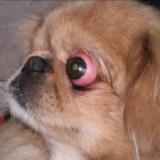 Какие породы собак предрасположены к заболеванию проптозом и что делать в случае выпадения глаз?