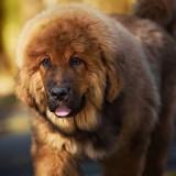 Описание породы тибетский мастиф, размеры собаки, а также правила ухода