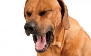 Как оказать первую помощь собаке, которая подавилась?