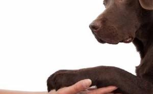 """Как нужно дрессировать щенка, чтобы максимально эффективно разучить команду """"Дай лапу""""?"""