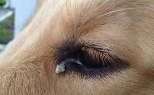 Как оказать первую помощь собаке, у которой гноятся глаза и можно ли лечить ее без рекомендаций ветеринара?