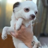 Советы, которые помогут выбрать здорового щенка чихуахуа