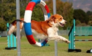 Для чего предназначены соревнования Аджилити для собак и как подготовить к ним питомца?