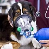 Опасна ли астма для здоровья собаки, и можно ли ее вылечить полностью?