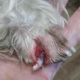 Что делать, если собака повредила коготь на лапе?