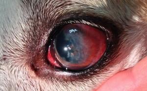 Почему у собаки могут быть красные глаза, и как устранить эту проблему?
