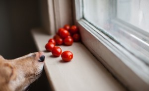 Можно ли вводить в рацион собаки помидоры и как это правильно делать?