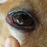 Что такое конъюнктивит и как он лечится у собак в домашних условиях?