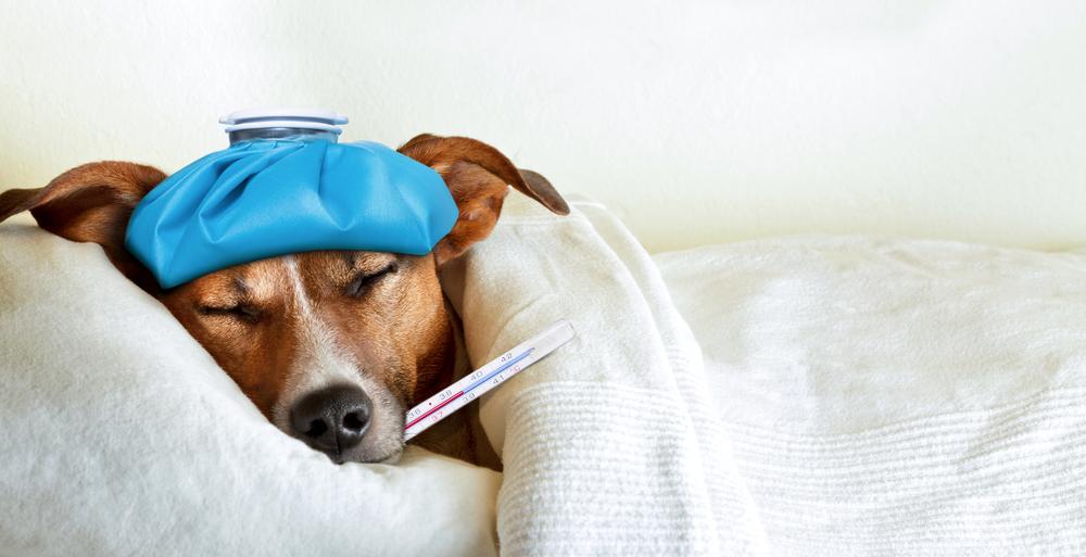 Симптомы аденовируса у собак