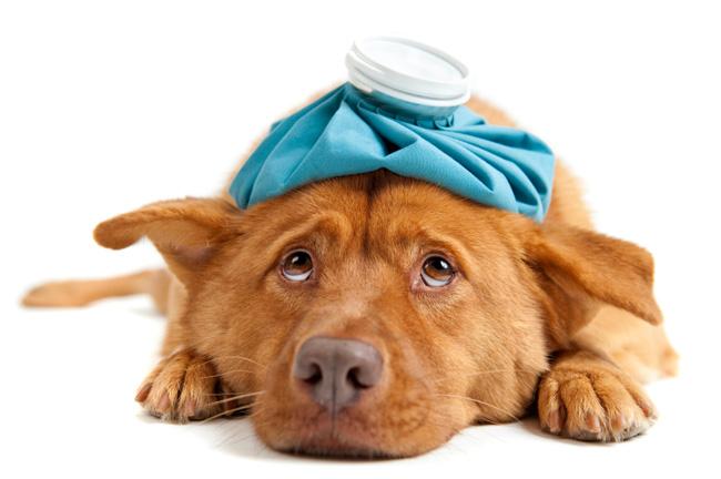 О аденовирозе у собак
