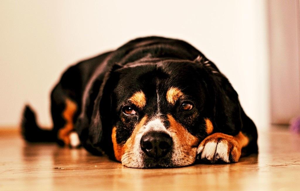 Первые симптомы артрита у собак