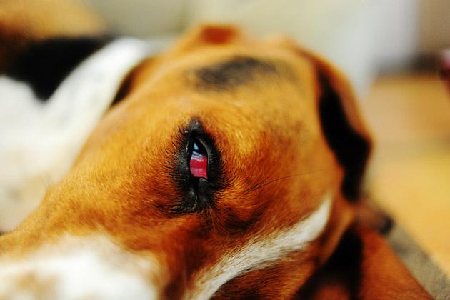 Что такое аденома третьего века у собак?