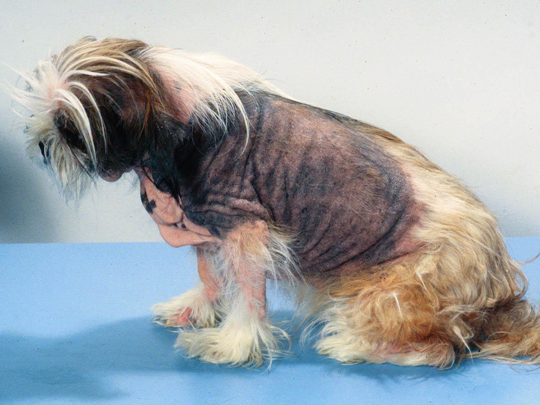 Что такое атопический дерматит у собак?
