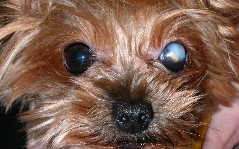 Что такое бельмо на глазу у собак?
