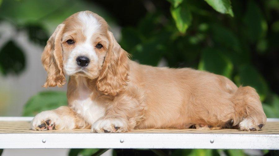 Как выбрать щенка американского кокер спаниеля?