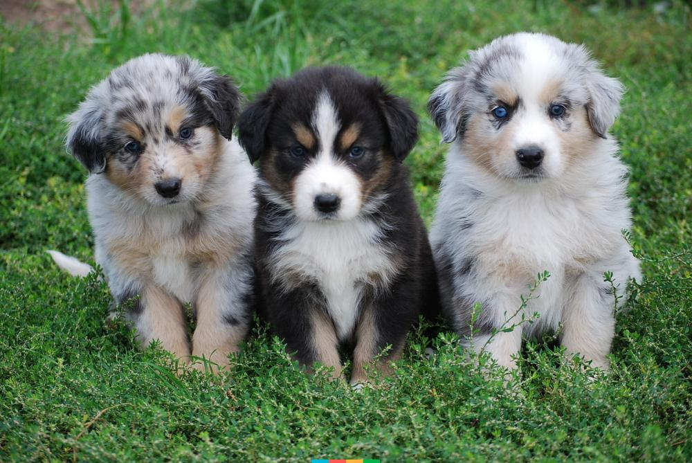Как выбрать щенка австралийской овчарки?