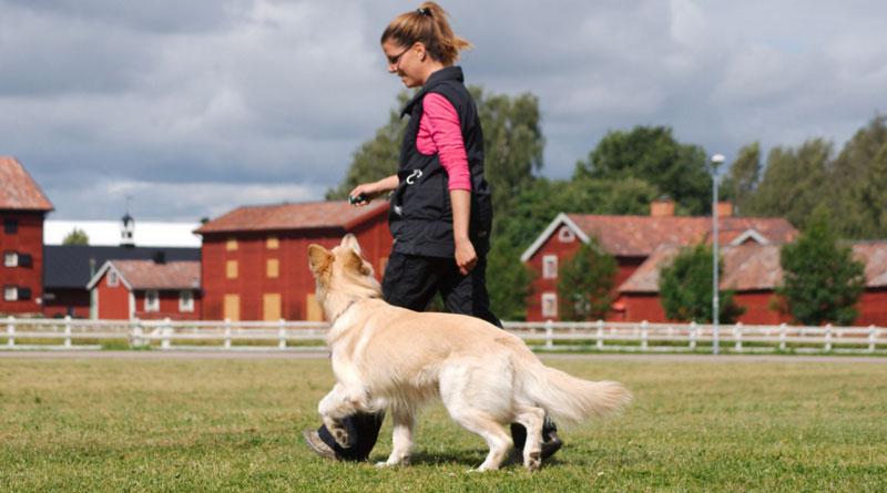 Как научить собаку без поводка?