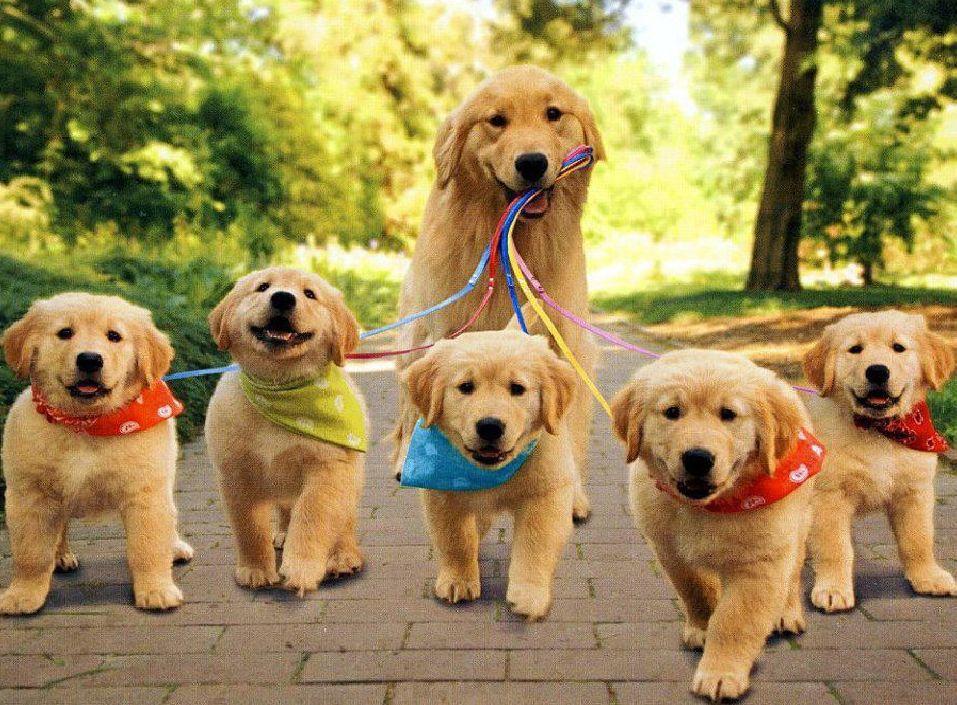 Как выбрать щенка ретривера?