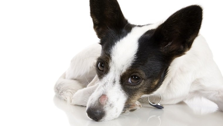 Как выглядит стригущий лишай на теле собаки?