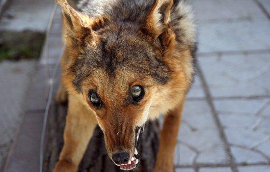 Признаки бешенства у собак