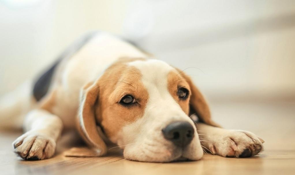 Реакция у собаки на прививку
