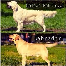 Отличия Ретриверов и Лабрадоров есть ли разница