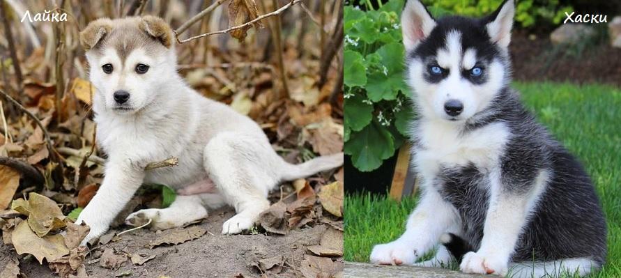 Как отличить щенка хаски от щенка лайки?