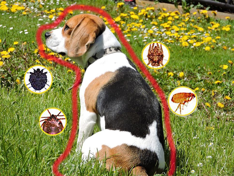 Как собака может заразиться паразитами?