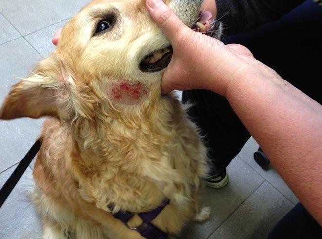 Экзема у собаки лечение