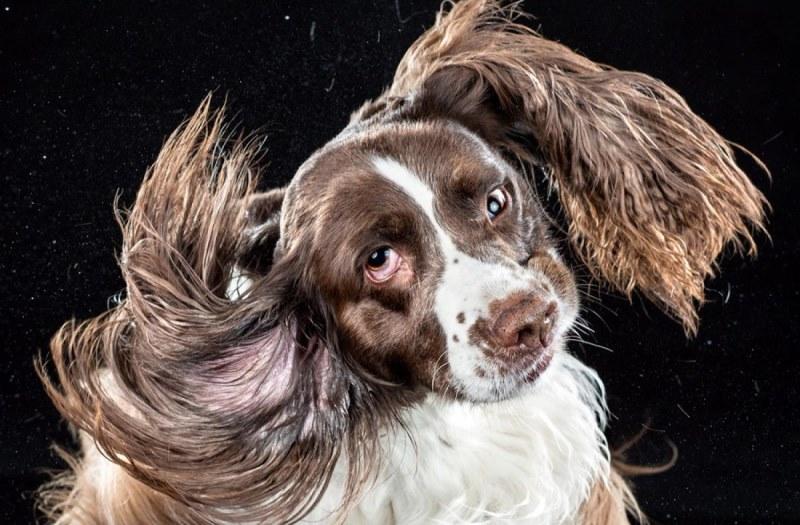 Симптомы отодектоза у собак