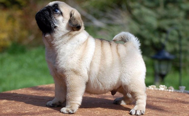 Сколько стоит щенок мопса?