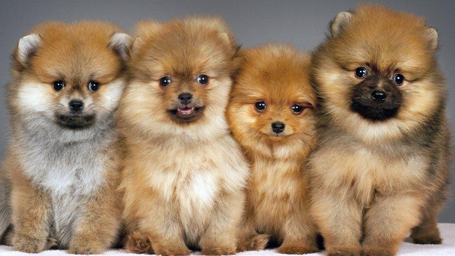 Сколько стоит щенок помиранского шпица?