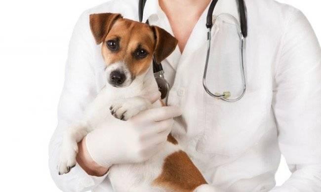 В каком возрасте нужно проводить стерилизацию собаки?