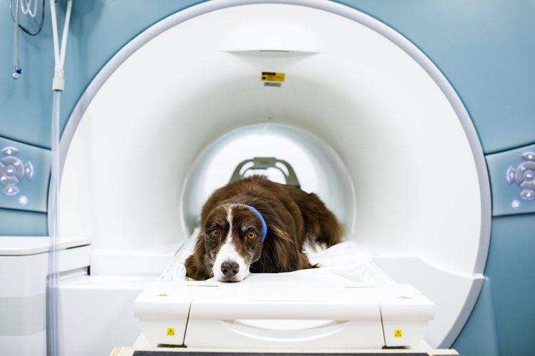 Как диагностировать грыжу у собак?
