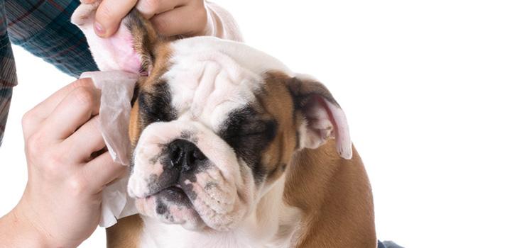 Лечение небольшой гематомы в ухе собаки
