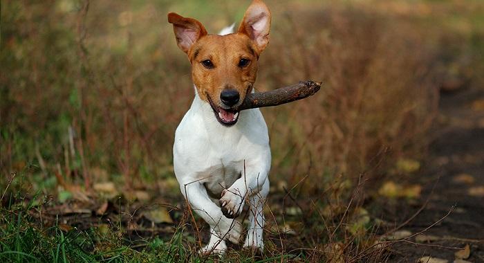 Особенности дрессировки собак породы джек-рассел-терьер