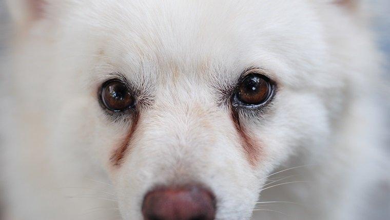 Почему у собак гноятся глаза?